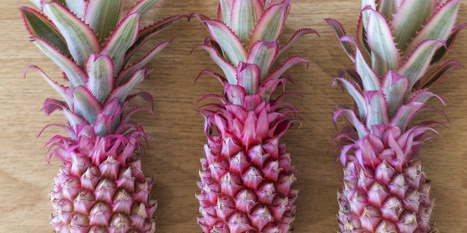 Dwarf Mini Pink Pineapples on white wood background