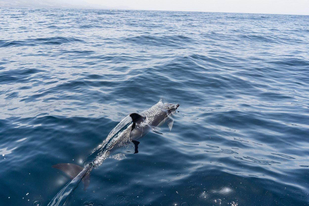 Delfin Teneriffa