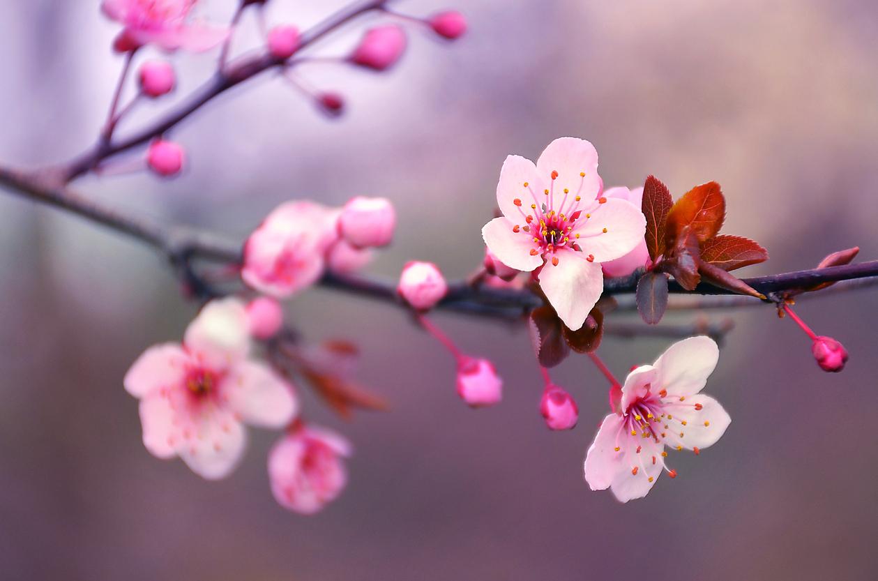 Kirschblüten melden Zeichen in