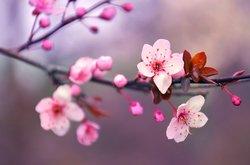Kirschblüten-Tätowierung